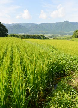 遠くに見えるのは阿蘇をぐるりと取り囲む阿蘇外輪山。この大自然の中で宇都宮さんのヒノヒカリは育つ。