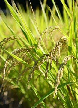 10月初旬。穂の重さで頭を垂れる稲穂。葉にはまだ青さが残る。あと10日ほどで稲刈りだ。
